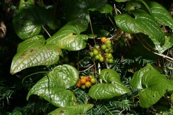 Black bryony (Dioscorea communis) by S Rae (CC3.0) poisonous berries