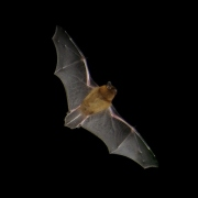 Common Pipistrelle by Barracuda 1983 (CC3.0)