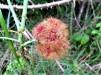 Robin's pincushion