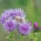 creeping thistle (DKG)