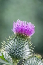 spear thistle (DKG)