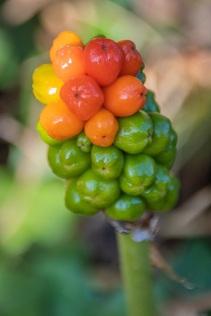 Cuckoo pint (Arum maculatum) by DKG