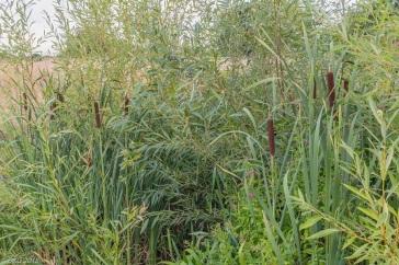 Bulrush in Lambrok Stream