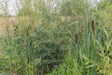 Dense vegetation in Lambrok Stream