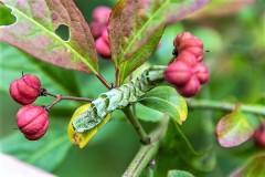 Dot moth caterpillar by DKG