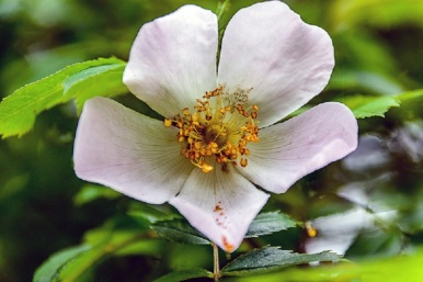 Dog rose (DKG)