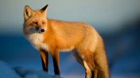 Fox (CC0)