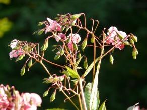 Himalayan balsam (CC0)