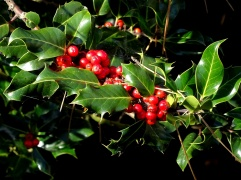 Holly (Ilex aquifolim) (CC0)