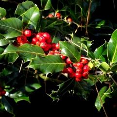 Holly (Ilex aquifolim) (CC0)