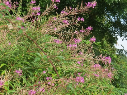 Rosebay willow herb has moved in