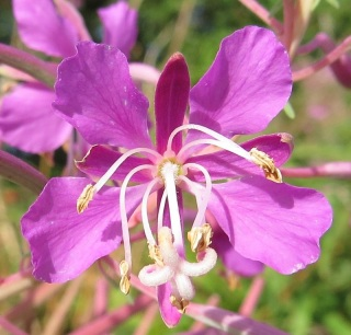 In North America it is called fireweed...