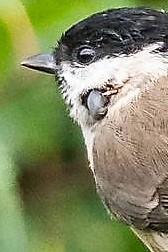 ...a light spot on the upper part of the beak..