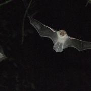 Natterers bat by Guido Gerding (CC3.0)