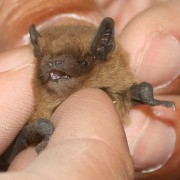 Nathusius pipistrelle by fs-phil ((CC2.0)