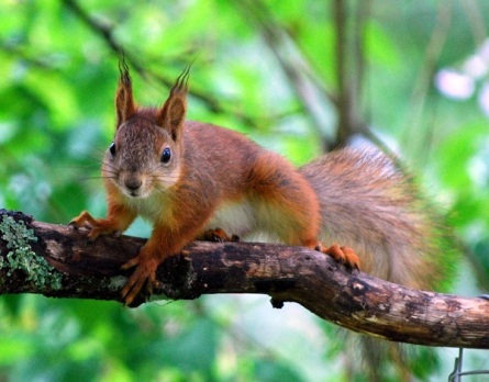 Red squirrel by Dave_S (CC2.0)