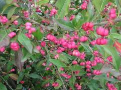 Spindleberry (Euonymus europaeus) Nick Smith (CC2.0)