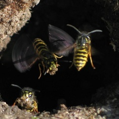 Common wasp (Vespula vulgaris) by soebe CC3.0