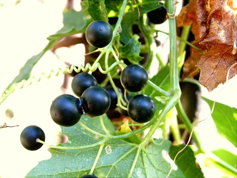 White bryony berries (Bryonia alba) by Jan Samanek (CC3.0)
