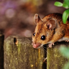 ...all kinds of mice eat the seeds... (CC0)