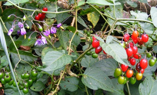 Woody nightshade (Solanum dulcamara) by Phil (CC2.0)