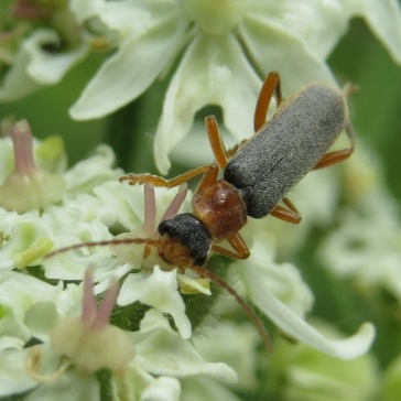 Sailor beetle (Cantharis nigrican)s on hogweed by SMH