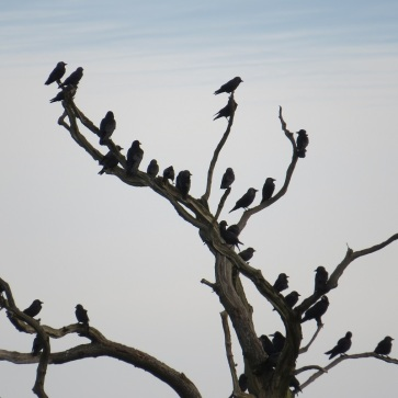 A clamour of rooks