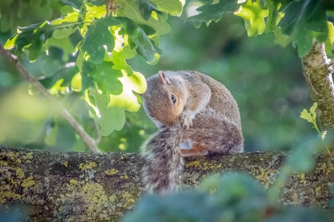 ...in particular jays and squirrels, take the acorns away and cache them.