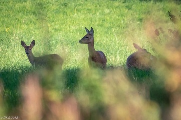...a doe and her more-than-half-grown twin kids..