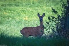 ...the ever-vigilant doe...