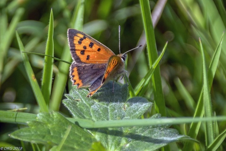 small copper on meadow buttercup leaf