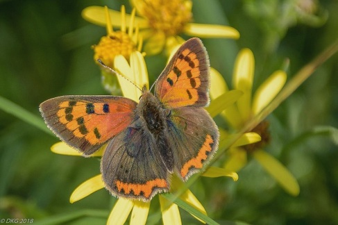 small copper on ragwort
