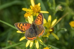 Small copper butterfly [DKG]