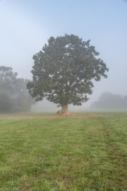 The Lone Oak through the mist.