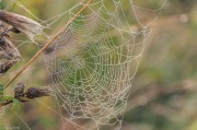 Spider webs in creeping thistle