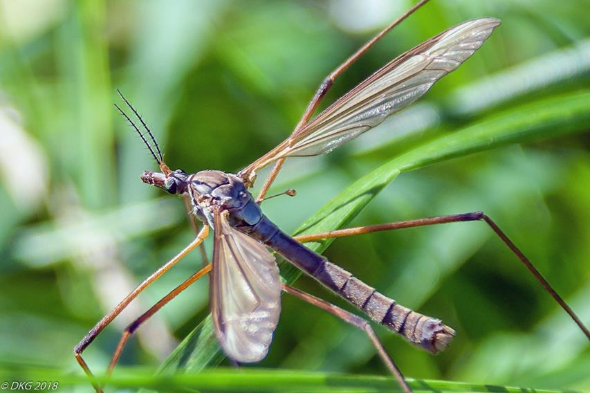 Crane fly by DKG