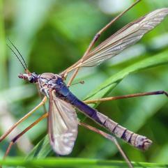cranefly by DKG
