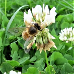 ...the bee visits each floret...