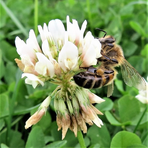 ..pollen baskets on its hind legs...