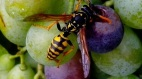 Common wasp (Vespula vulgaris) CC0