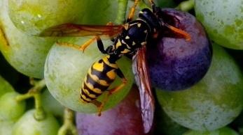 Wasp feeding on grapes