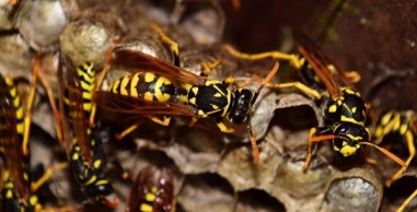 Worker wasp and capped larval cells,