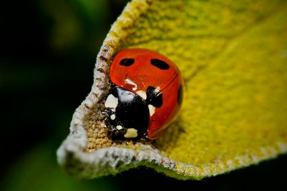 Seven Spot Ladybird by AJC1 (CC2.0)