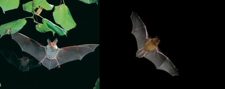 Bechstein's bat by Dietmar Nill CC2.5