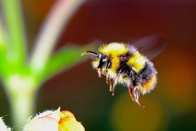 a bumble bee warning that it can sting