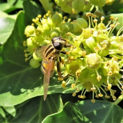 A striped hover fly by Suzanne Humphries