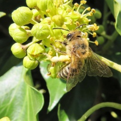 An ivy bee; it only feeds on ivy.