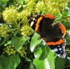 red admiral on ivy by SMH