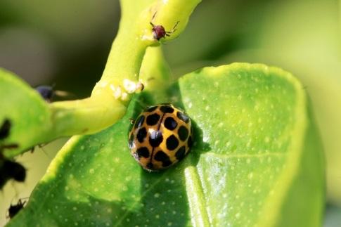 ladybirds taste and smel unpleasant