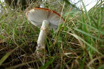 ... a ragged ring around the stem just under the cap.